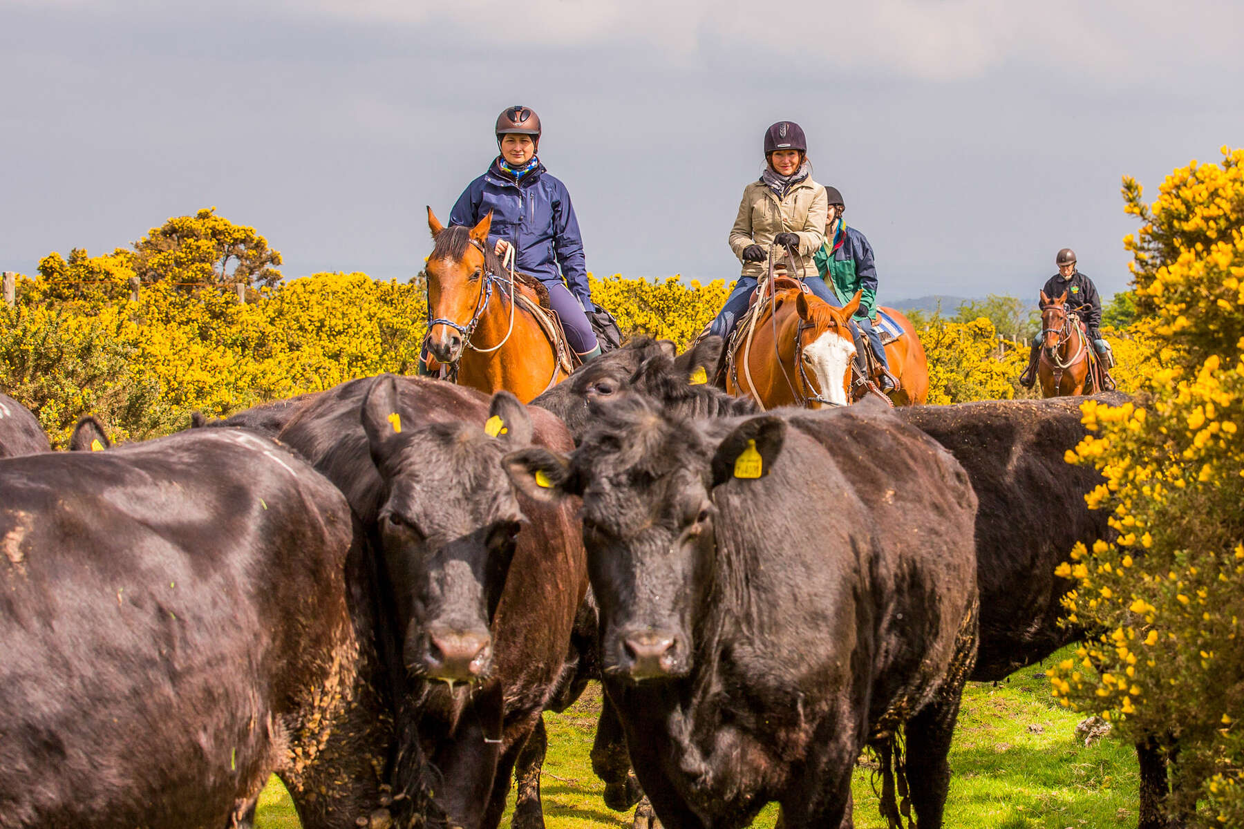 Cattle driving the UK, England