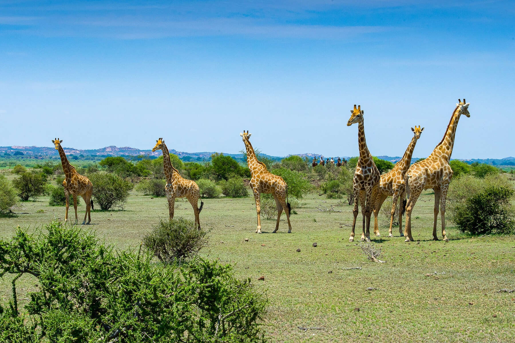 Giraffe and riders in Botswana, Mashatu