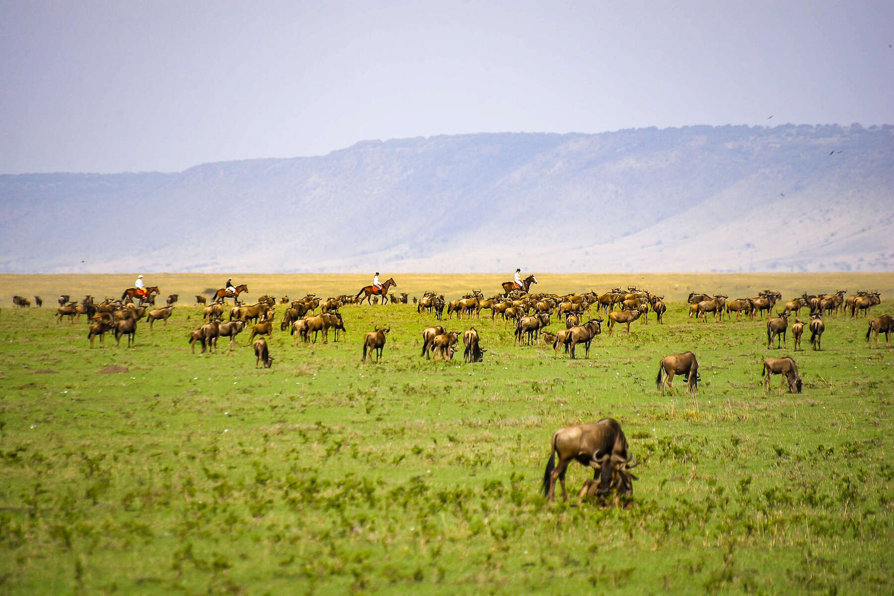 Riders on horseback in the Maasai Mara during the Great Wildebeest migration