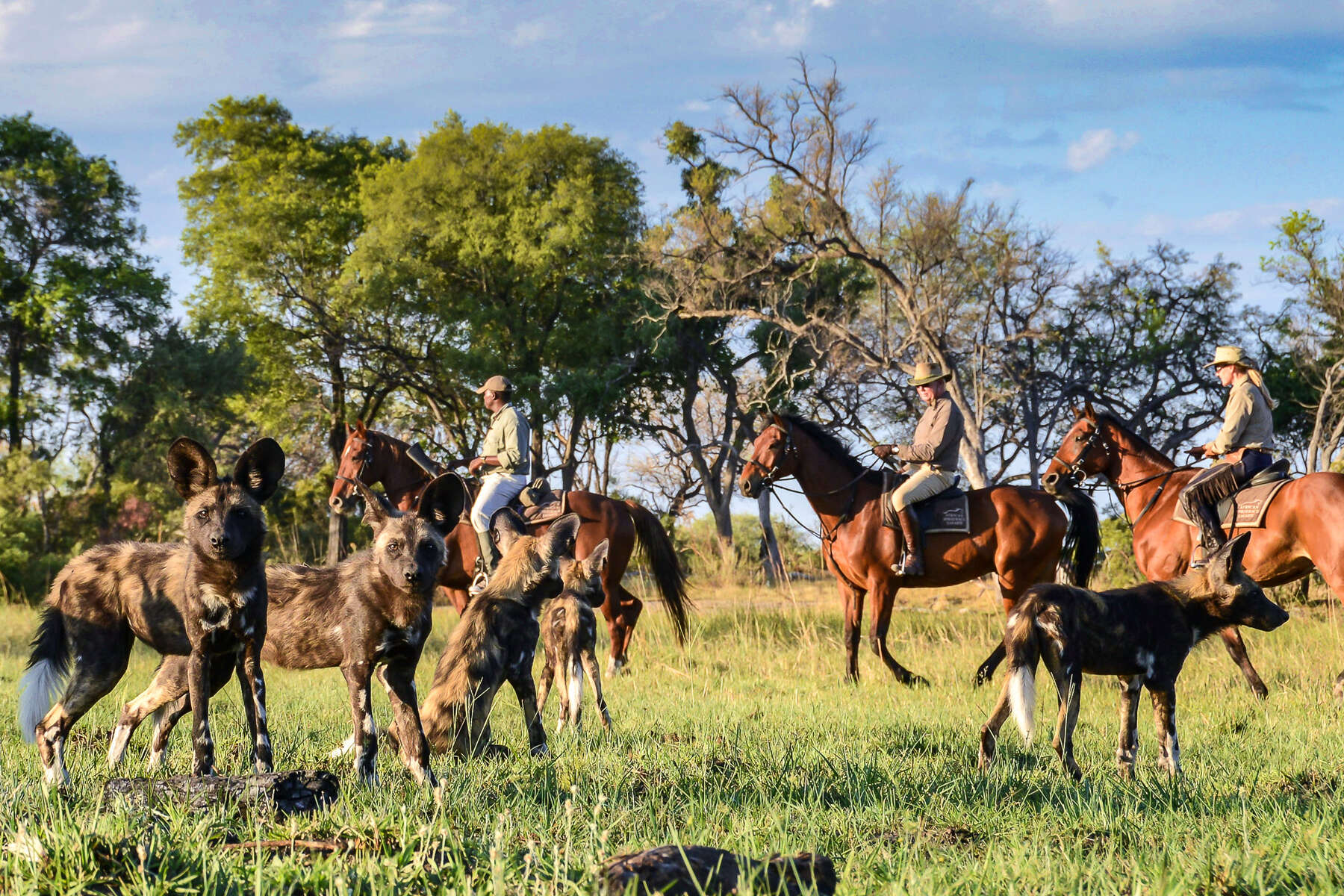 Wild dogs at Macatoo Camp, Botswana