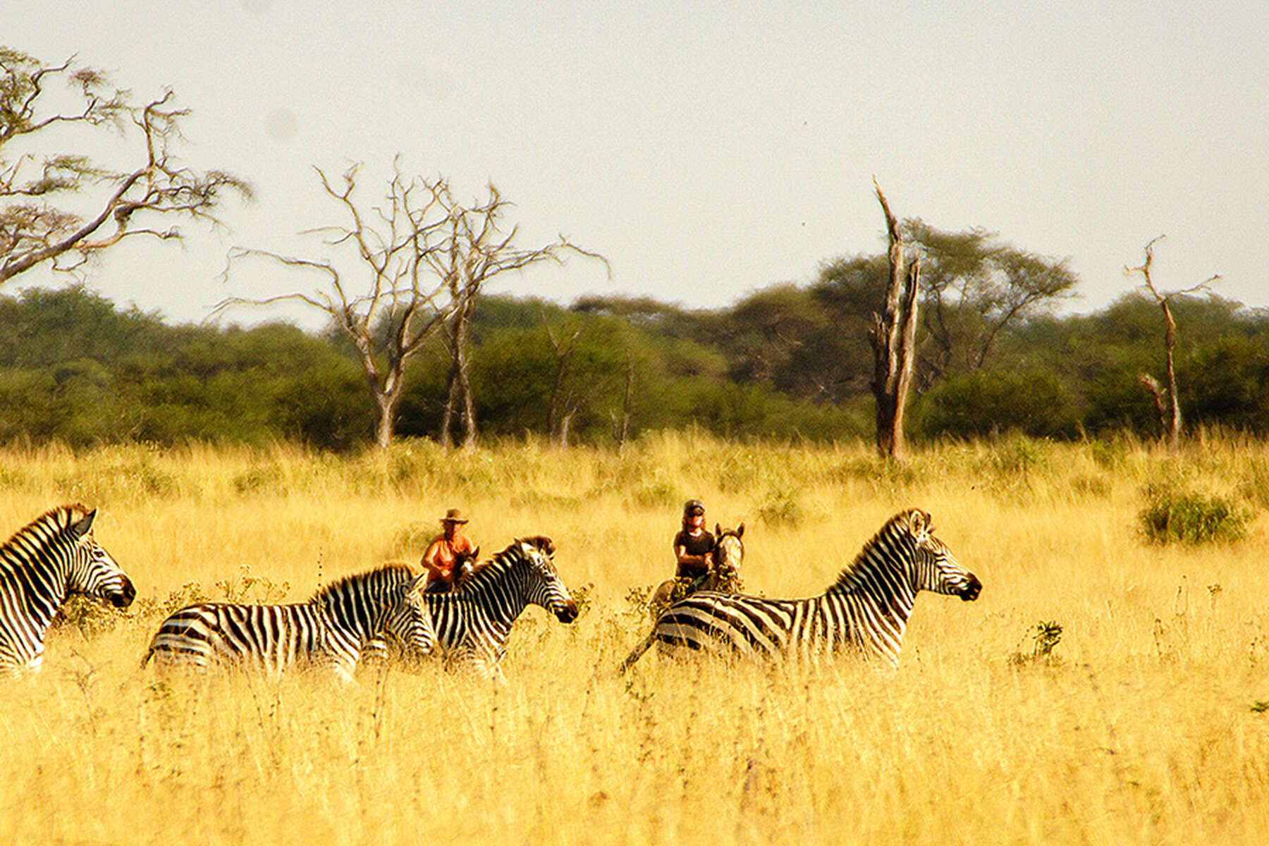 Zebras and horseback riders on a riding safari