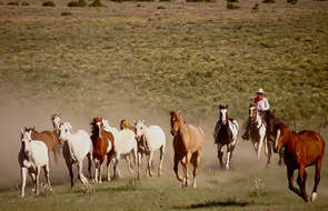 Cowboy driving a herd of horses in Montana