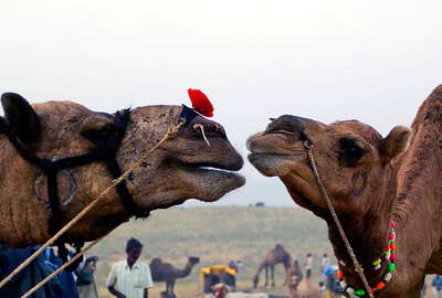 Camels and Rajasthan