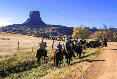 Cattle drive with the Devil's tower in the background