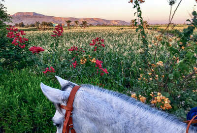 Horse and a field of flowers in Egypt