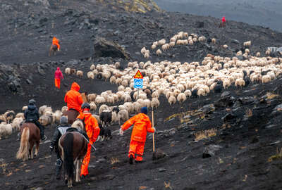 Horses and sheep in iceland