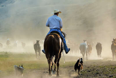 Rider moving cows in Montana on a ranch vacation