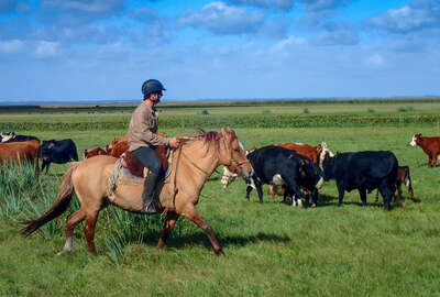 Rider rounding up cattle in Uruguay
