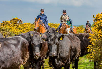 Riders pushing cattle on a cattle drive holiday in Devon