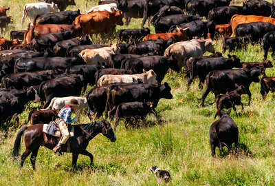 Young rider rounding up cattle on a cattle drive in Montana