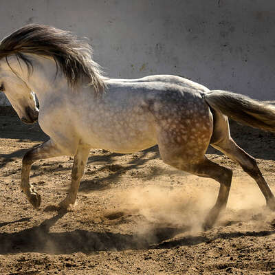 Lusitano horse running free in the bullpen at Alcainça, Portugal