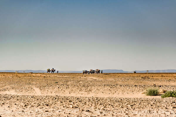 A caravan of camels in the Sahara led by a team of berbers