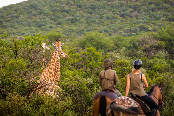 A group of giraffe watching riders on a riding safari in South Africa