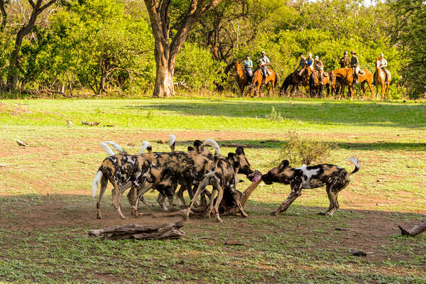 A group of wild dogs on a riding safari