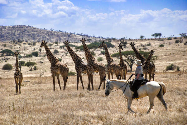 A tower of giraffe seen from horseback in Tanzania