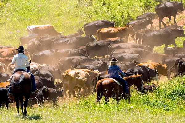 A working ranch with cattle drives USA