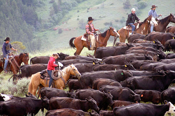 A working ranch with cattle driving in Montana USA