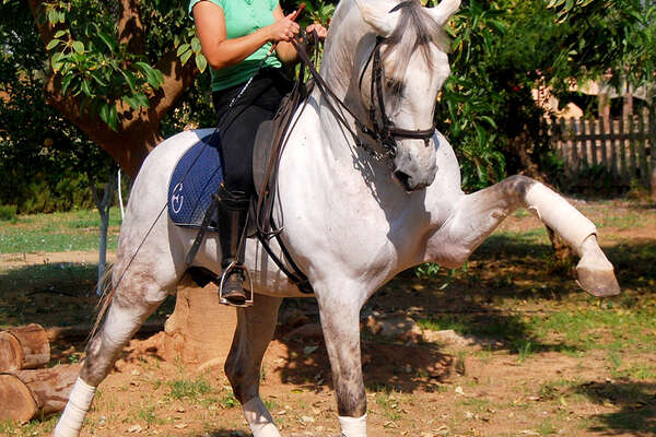 Andalucian horse doing dressage