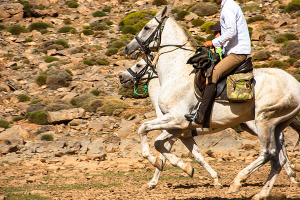 Barb and Barb Arab stallions used for a trail ride in Morocco