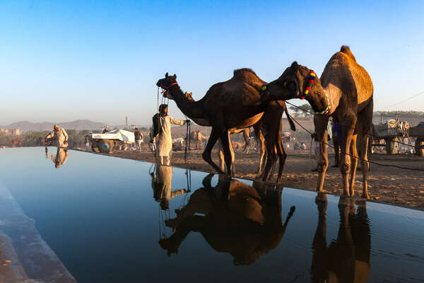 Camels at the Pushkar Fair in Rajasthan