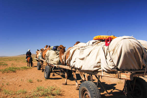 Camels pulling a cart in Mongolia