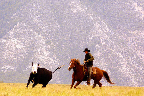 Cattle work in Montana on a ranch holiday