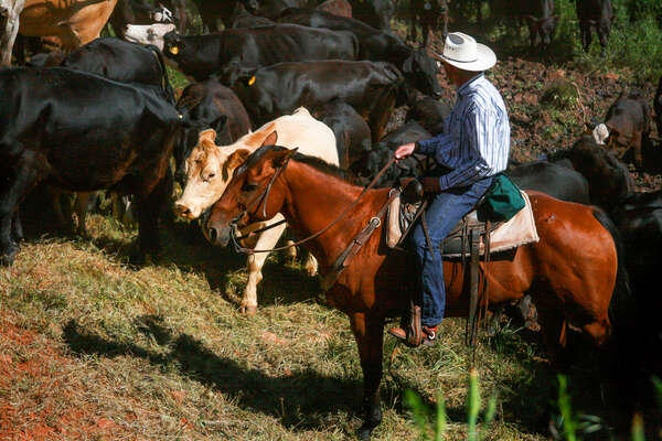 Cowboy and cattle in the USA on a ranch adventure