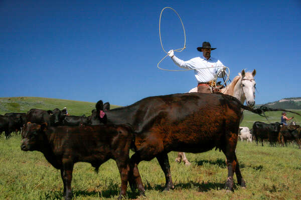 Cowboy roping a young calf on a ranch holiday