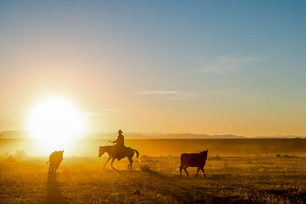 Cowboy working cattle in the early morning light in Colorado