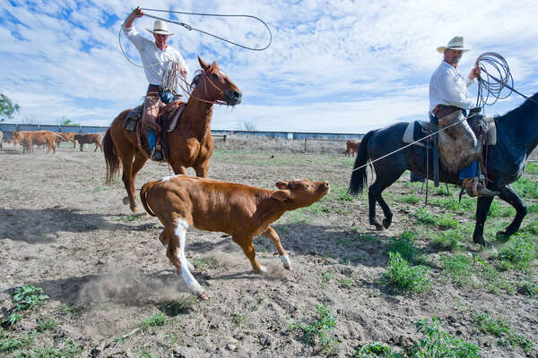 Cowboys roping a young calf during a branding day