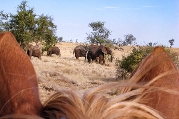 Elephant as seen between the ears of a horse