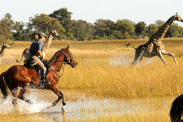 Giraffes and horses in Botswana