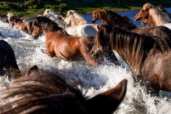 Group of Icelandic horses in Iceland