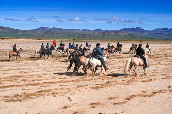 Group of trail riders riding Icelandic horses on the beach in Iceland