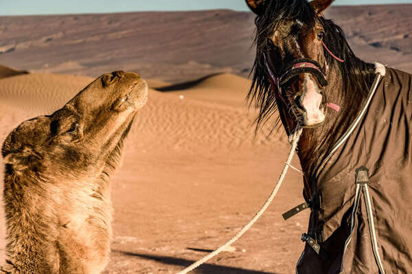 Horse and camel in the Sahara