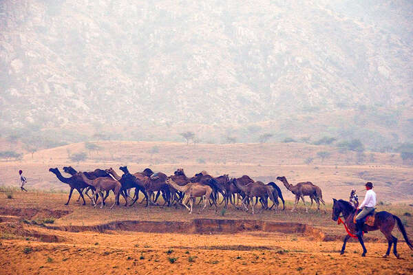 Horse and camels in India to Pushkar Fair