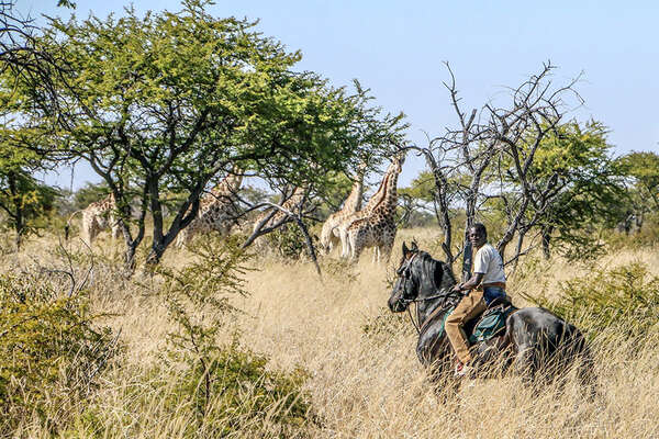 Horses and giraffes in Zimbabwe