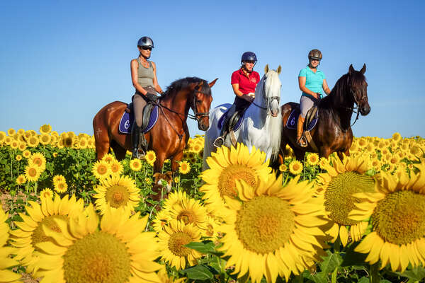 Horses and riders posing for a photo in a field of sunflowers