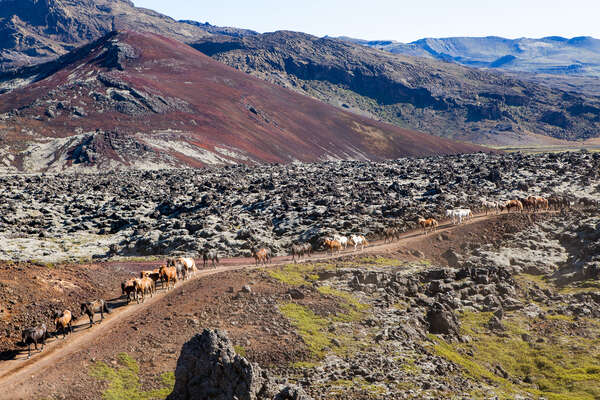 Horses being ridden with a background of mountains in Iceland