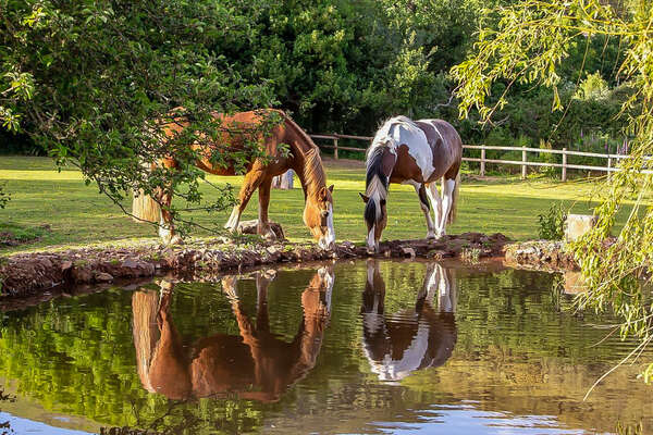 Horses drinking from a pond in Exmoor