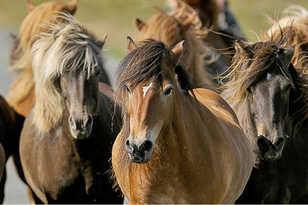Iceland and icelandic horses herd