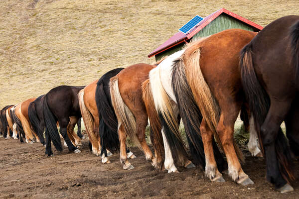 icelandic horses lined up in a row