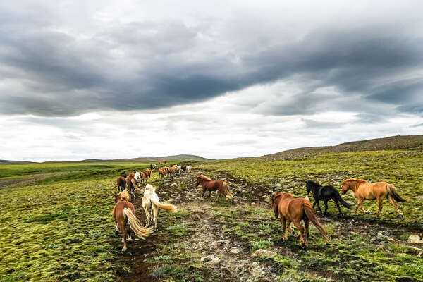 Icelandic horses running loose in the Golden Circle