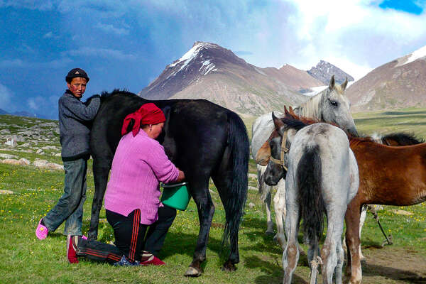 Local family milking yaks in Kyrgyzstan