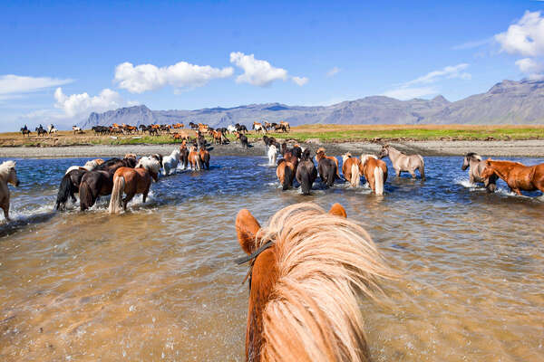 Loose Icelandic horses on a trail ride