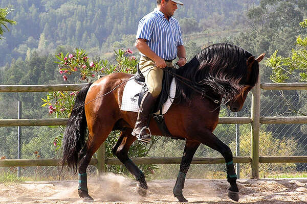 Lusitanian horse and dressage in Portugal