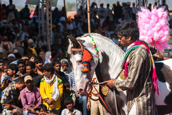 Marwari horse at a local Rajasthan event