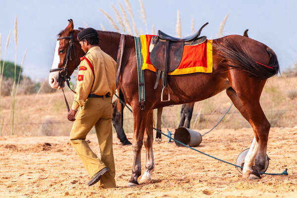 Marwari horse in Rajasthan, India