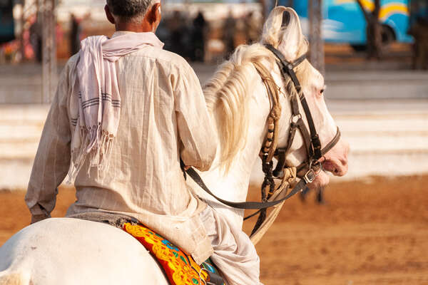 Marwari horse in Rajasthan, Pushkar fair trail