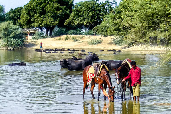 Marwari horses drinking in  a lake with cows